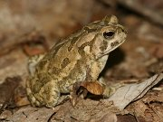 Click to Play Fowler's Toad Jigsaw Puzzle